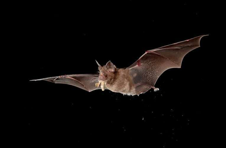 Chiroptophobia: The Fear of Bats